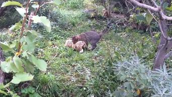Бой кота с тигром взорвал интернет. Видео