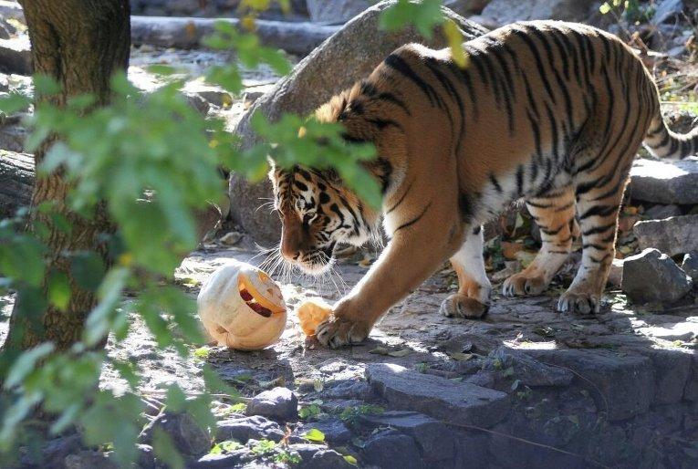 Звери отмечают Хэллоуин в Киевском зоопарке
